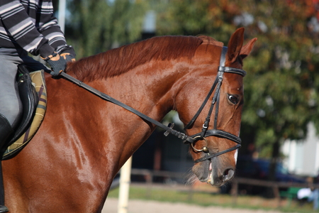 Chestnut sport horse portrait with rider photo