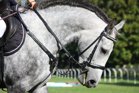 Gray sport horse portrait with saddle photo