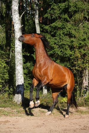 rearing: Beautiful brown horse rearing up  Stock Photo
