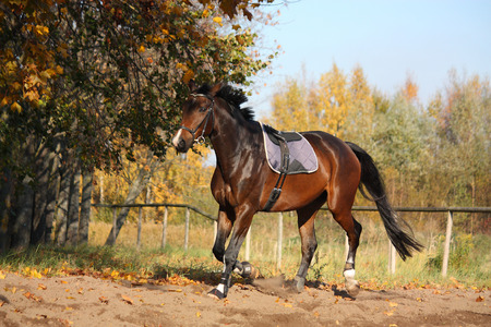 trotting: Beautiful bay hanover horse trotting in autumn