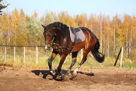 Schöne Bucht hannover galoppierenden Pferd im Herbst
