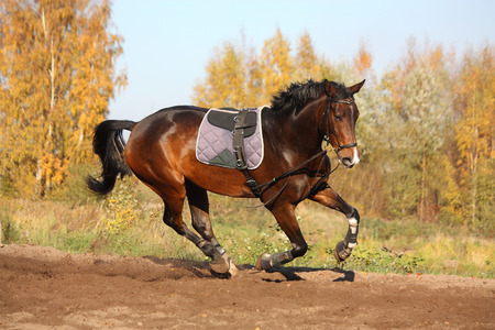 girth: Beautiful bay hanover horse galloping in autumn