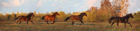 Panorama of horse herd running in autumn Stock Photo