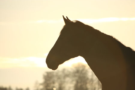 Silhouette of horse head  in sunset photo