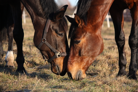socialise: Two horses eating grass at the pasture together