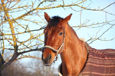 パドックで冬の茶色の馬の肖像 写真素材