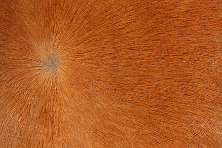 light brown horse: Close up of light brown horse fur