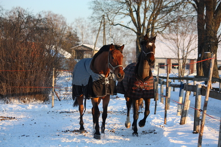 Two brown horses running together in winter