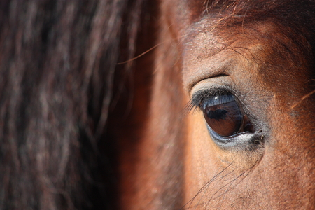 sense of sight: Brown beautiful horse eye and mane close up