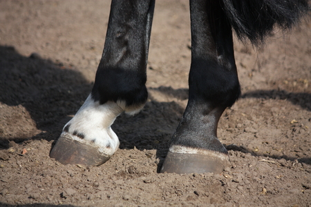 gelding: Close up of horse hoof standing