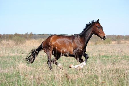 gait: Beautiful bay horse running free in the field