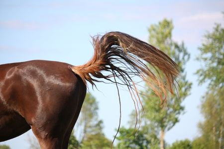 Brown horse swinging its tail to protect from insects