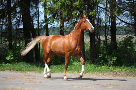gait: Chestnut horse trotting on the road leading to farm