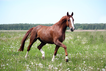 Beautiful free chestnut horse trotting at the field with flowers Stock Photo - 30526478