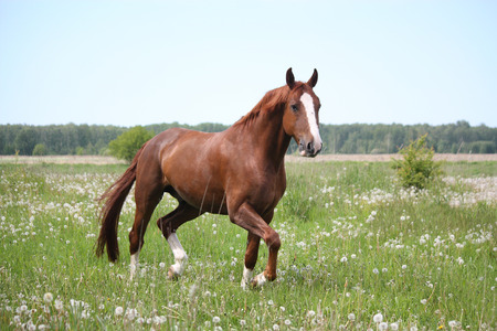 gait: Beautiful free chestnut horse trotting at the field with flowers