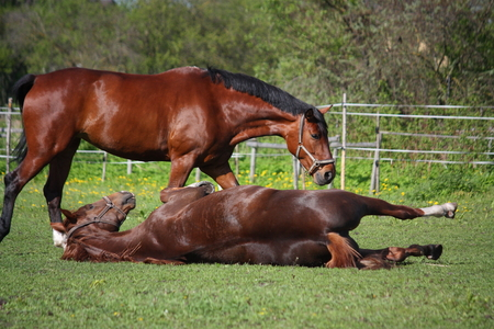 Chestnut horse rolling on the grass in summer and brown horse at the background photo