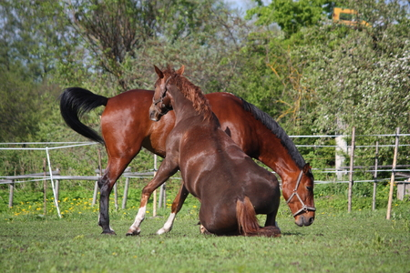get tired: Chestnut horse rolling on the grass in summer and brown horse at the background Stock Photo