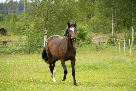 gelding: Bay latvian breed horse trotting at the field in summer Stock Photo
