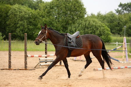 Brown young latvian horse trotting on the line photo