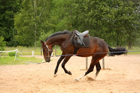 Brown playful latvian breed horse galloping on the line