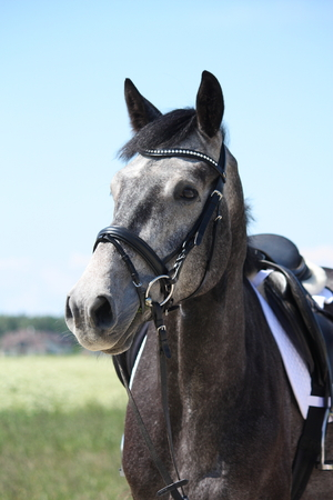 gelding: Gray latvian breed horse portrait in summer at the blooming field Stock Photo