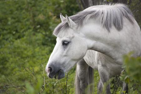 shetland pony: Cute gray shetland pony portrait at the pasture