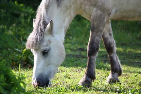 shetland pony: Cute white shetland pony eating grass in summer