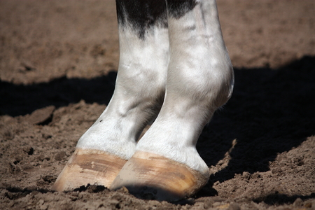equid: Close up of brown horse with white markings hoofs