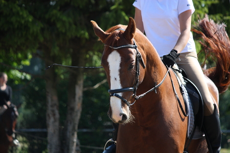 bridle: Portrait of chestnut sport horse with bridle