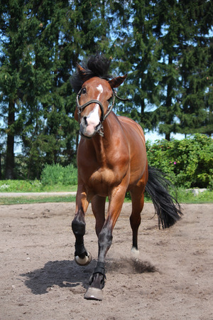 Playful horse galloping free at the field in summer