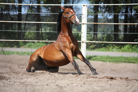 gelding:  Brown horse sitting on the ground in the paddock