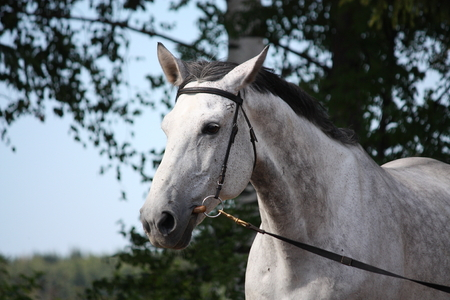 gelding: Gray latvian breed horse portrait with black bridle Stock Photo