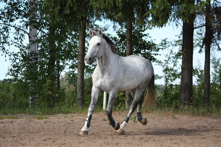 gelding: White latvian breed horse trotting at the field near the trees Stock Photo