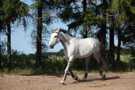 trotting: White latvian breed horse trotting at the field near the trees Stock Photo