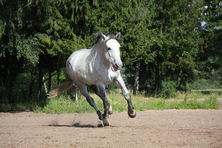 White horse galloping free at the field and smiling Stock Photo