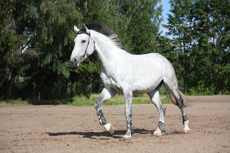 Gray horse with bridle galloping at the field Stock Photo