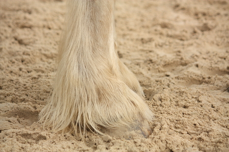 shire horse: Shire horse furry legs close up Stock Photo