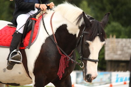piebald: Piebald (black and white) tinker horse portrait Stock Photo