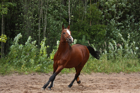 Beautiful energetic bay horse galloping at the field near the forest