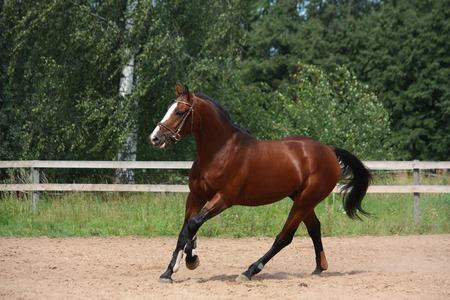 Beautiful bay latvian breed horse galloping at the field near the fence Stock Photo