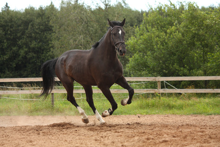 Black horse galloping free at the field near the farm fence