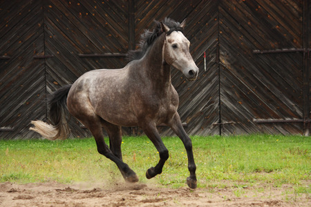 Gray horse galloping at the field near the wooden farm building