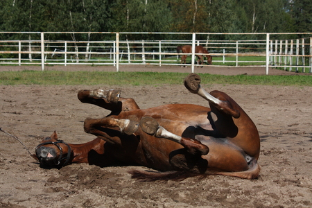 get tired: Funny brown horse rolling on the ground in summer Stock Photo