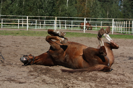 Funny brown horse rolling on the ground in summer photo