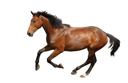 Brown horse galloping fast isolated on white background