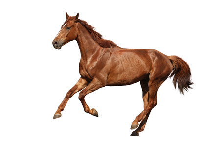 Brown horse cantering free isolated on white background
