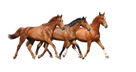 horse chestnuts: Three free beautiful horses happily trotting on white background Stock Photo