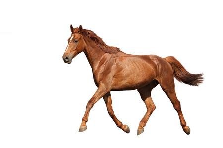 Kastanje paard vrij lopen op een witte achtergrond Stockfoto