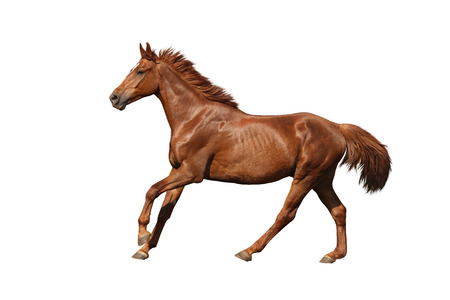 Chestnut horse galloping fast and free on white background Stock Photo