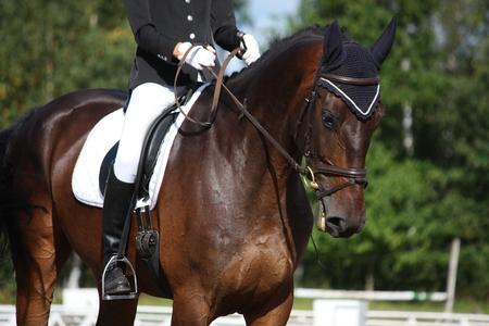 Bay sport horse portrait during dressage competition photo